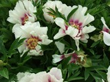 Itoh is the name given to this type of cross: tree peony x herbaceous peony.